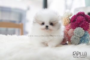 (SOLD to Herczeg) Cindy - Pomeranian. F - Rolly Teacup Puppies