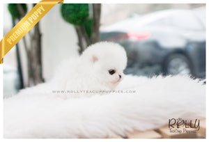 Pearl - Pomeranian. F - Rolly Teacup Puppies - Rolly Pups