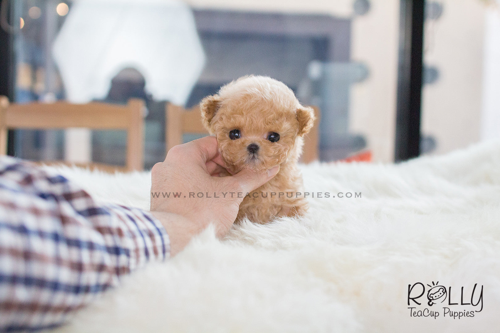Amelia Poodle F Rolly Teacup Puppies