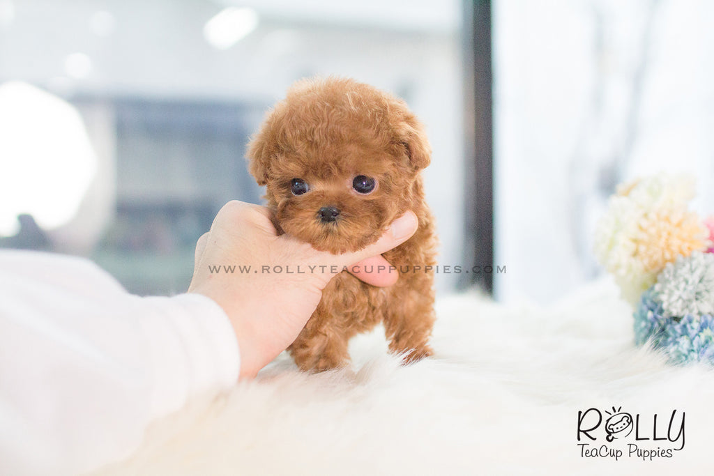 how to tell sex of female toy poodle