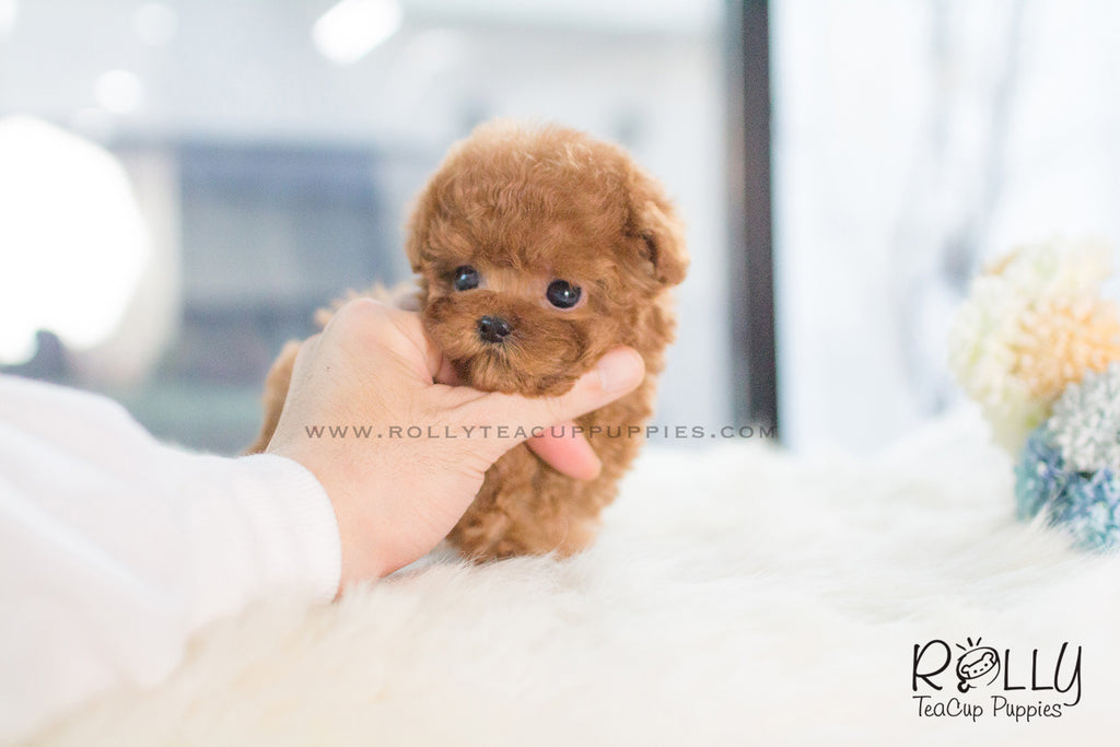 free small puppies near me sold to zawawi ted poodle m rolly teacup puppies 5085