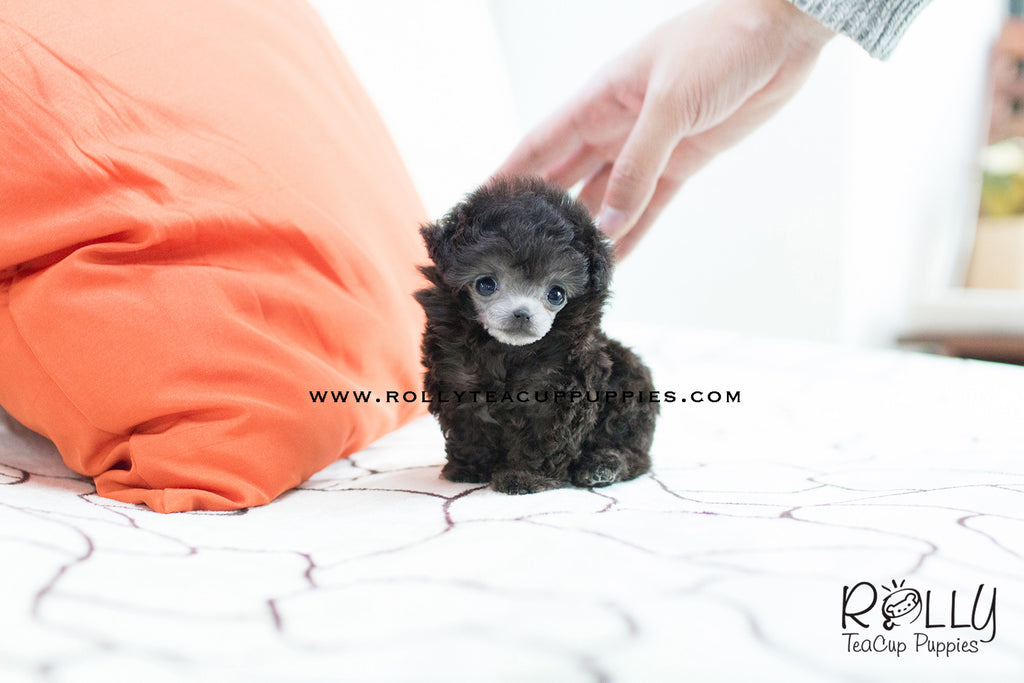(SOLD to Oliver) Cara - Poodle. F - Rolly Teacup Puppies