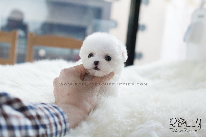 Emma - Poodle. F - Rolly Teacup Puppies