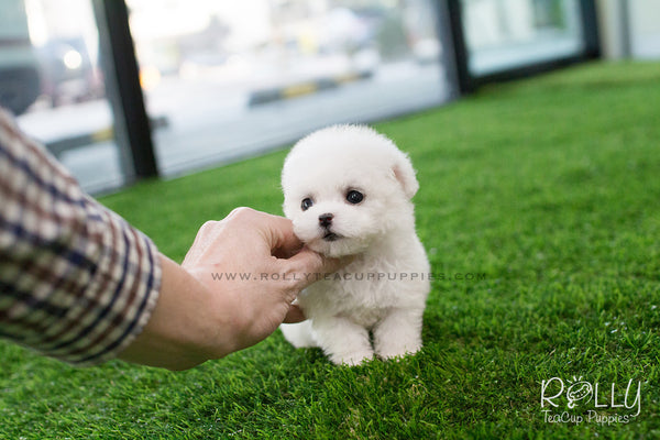 Emma - Poodle. F – Rolly Teacup Puppies