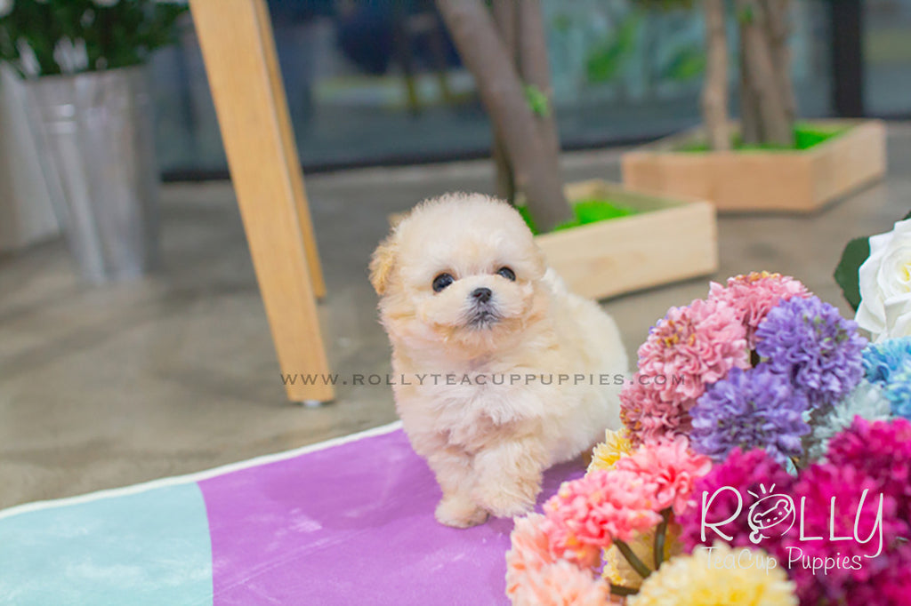 abigail poodle rolly teacup puppies. Black Bedroom Furniture Sets. Home Design Ideas