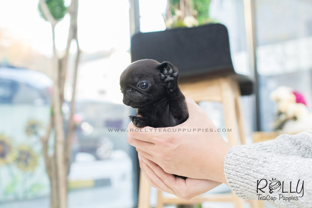 Diva - Pug. F - Rolly Teacup Puppies