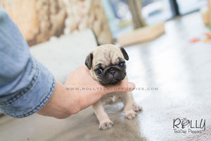 Lola - Pug. F - Rolly Teacup Puppies - Rolly Pups