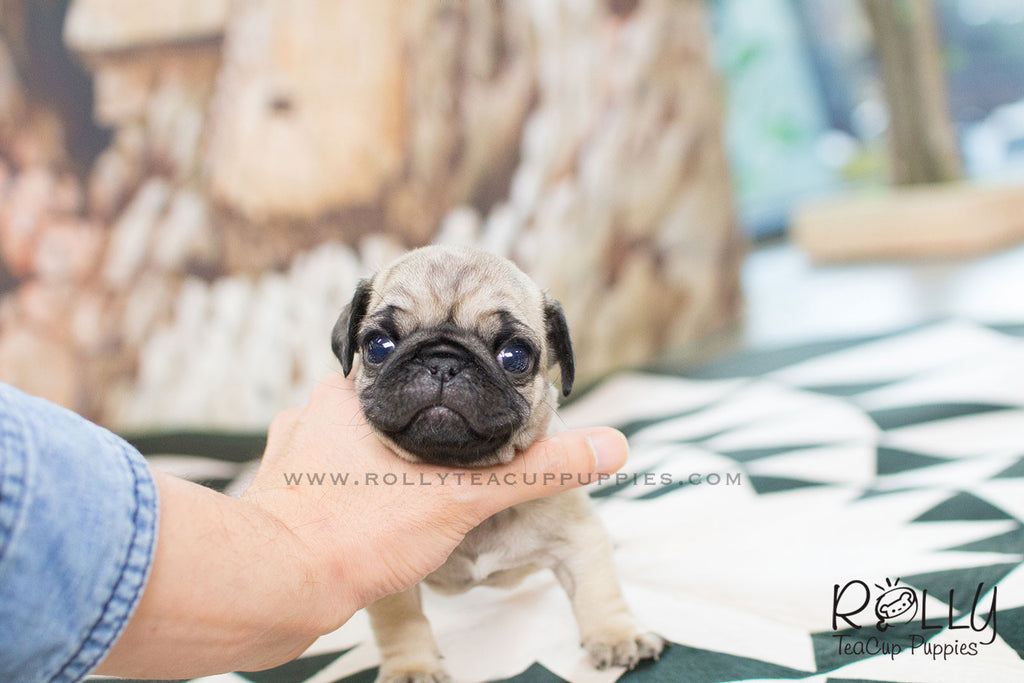teacup pug puppy lola pug f rolly teacup puppies 5225