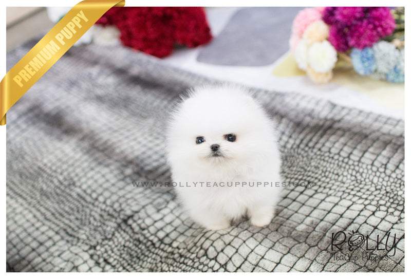 Bean - Pomeranian. M - Rolly Teacup Puppies