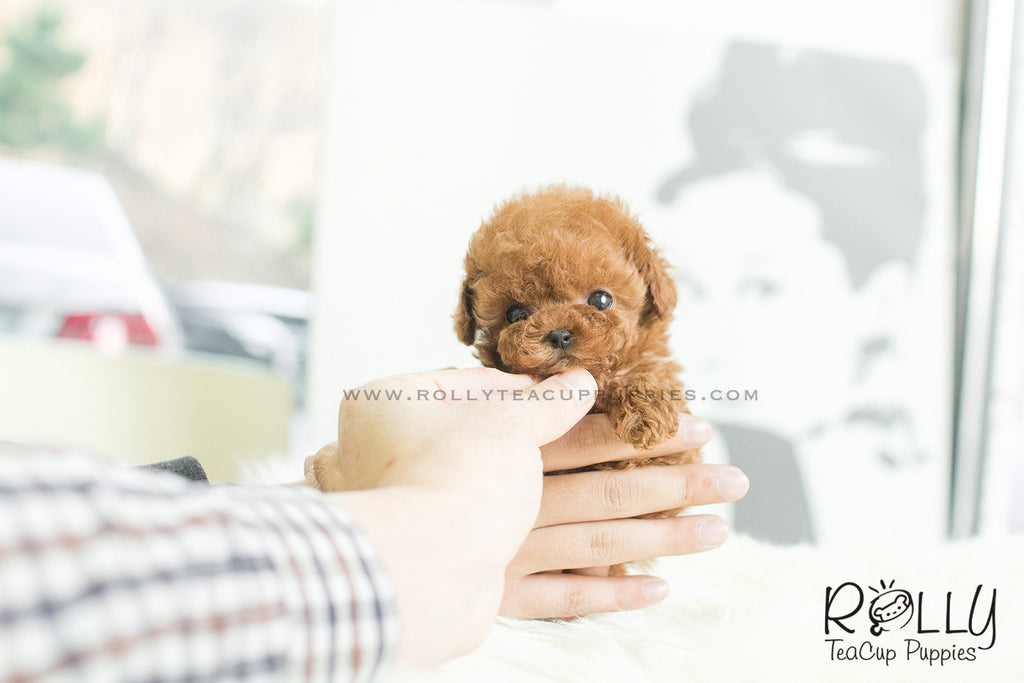 Kim - Poodle. F - Rolly Teacup Puppies