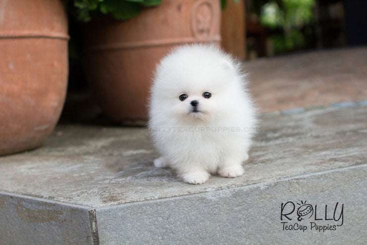 Scott - Pomeranian - Rolly Teacup Puppies