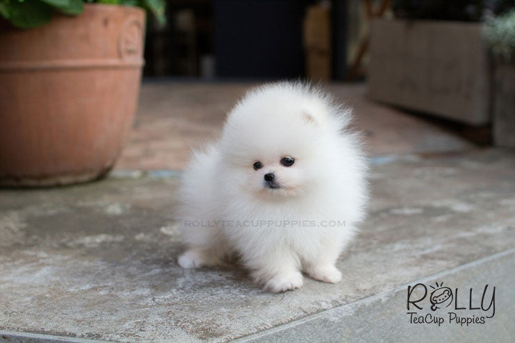 Scott - Pomeranian - Rolly Teacup Puppies - Rolly Pups