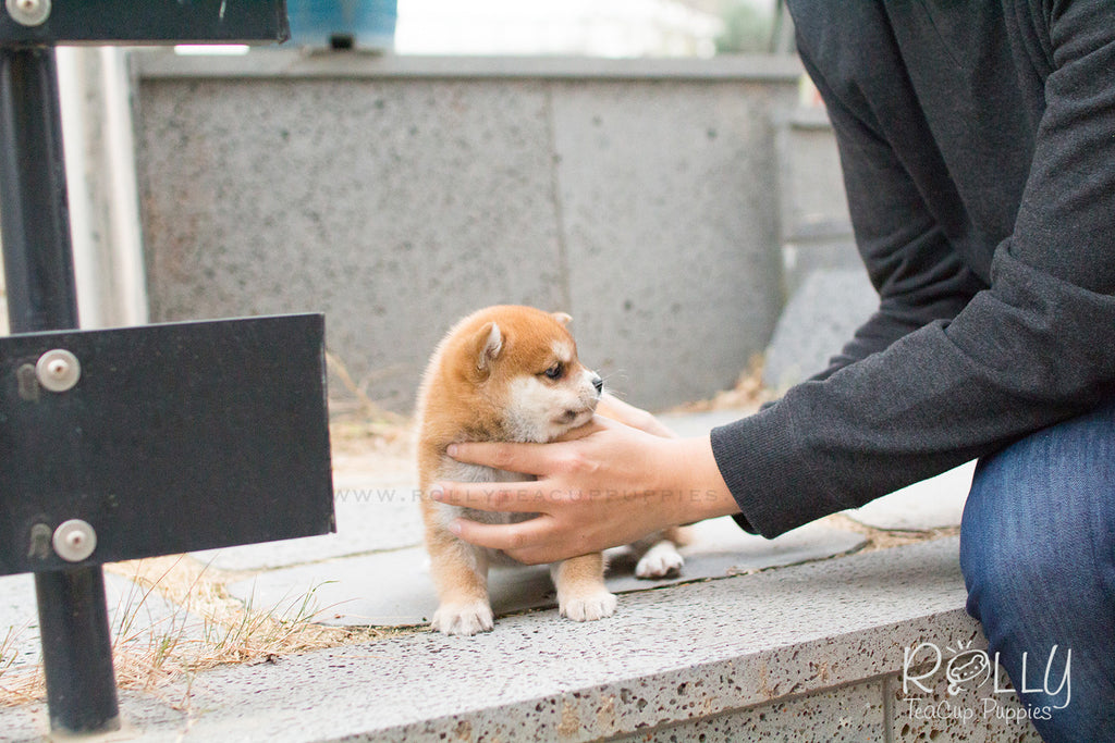 Mario - Shiba. M - Rolly Teacup Puppies