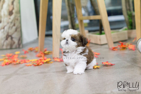Echo Shih Tzu F Rolly Teacup Puppies