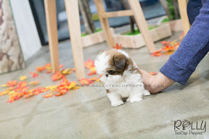 Echo - Shih Tzu. F - Rolly Teacup Puppies