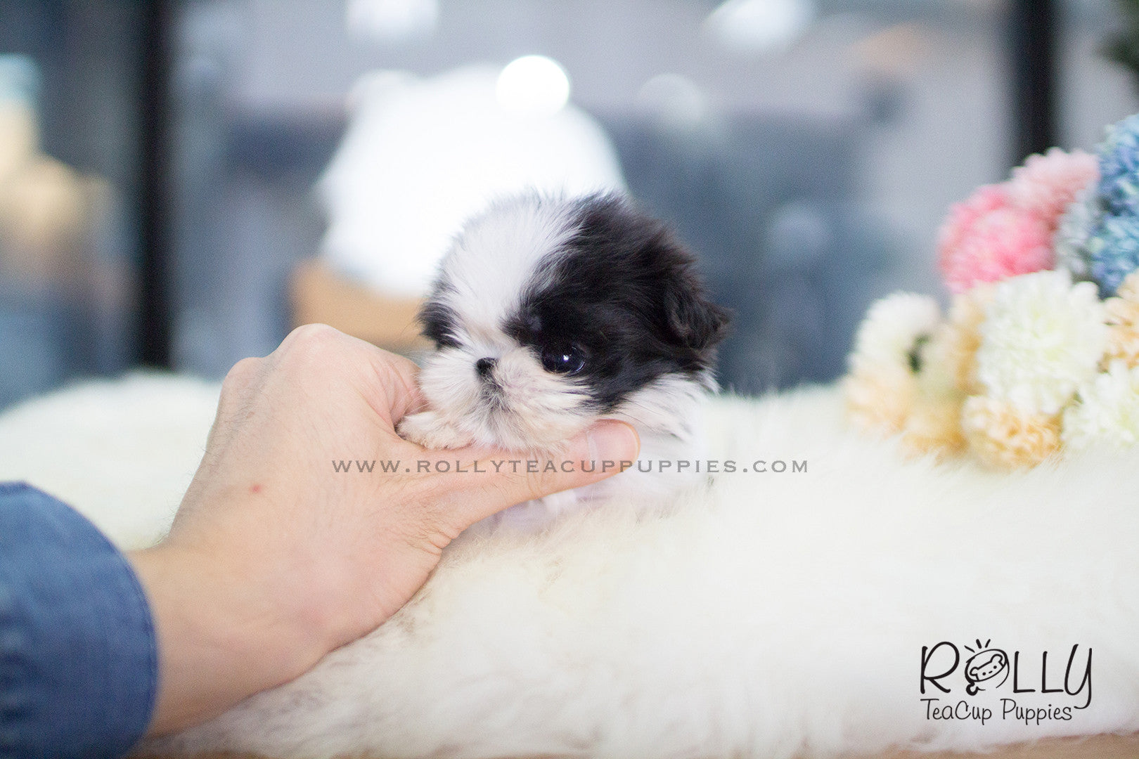 Oreo Shih Tzu M Rolly Teacup Puppies