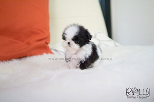 OREO - Shih Tzu. M - Rolly Teacup Puppies