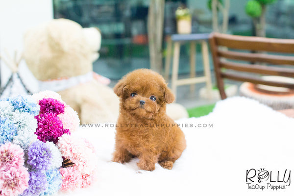 Daisy - Poodle - Rolly Teacup Puppies