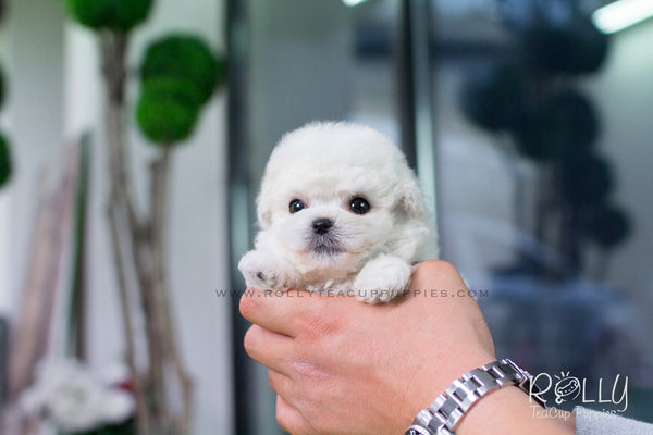 Kiwi - Poodle. M - Rolly Teacup Puppies