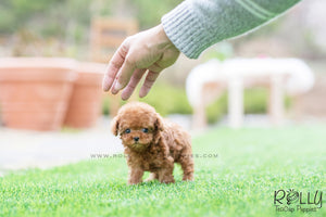 (SOLD to Mor) Wink - Poodle. F - Rolly Teacup Puppies