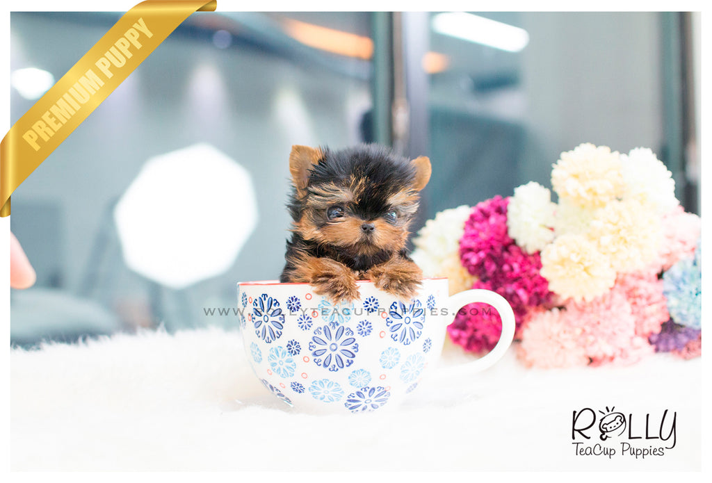 Ginger - Yorkie. F - Rolly Teacup Puppies