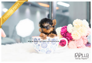 Ginger - Yorkie. F - Rolly Teacup Puppies - Rolly Pups