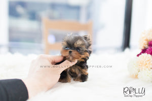 Zio - Yorkie. M - Rolly Teacup Puppies