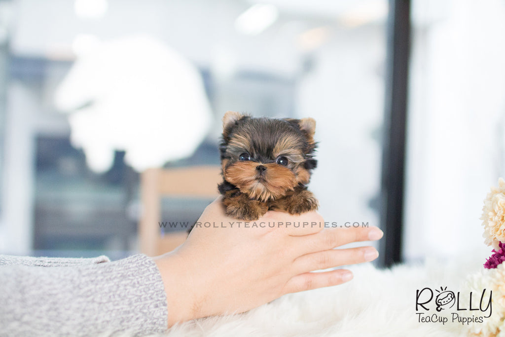 Zio - Yorkie. M - ROLLY PUPS INC