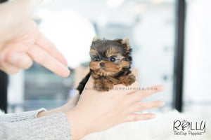 Zio - Yorkie. M - Rolly Teacup Puppies - Rolly Pups