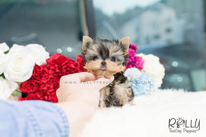 Toby - Yorkie. M - Rolly Teacup Puppies - Rolly Pups