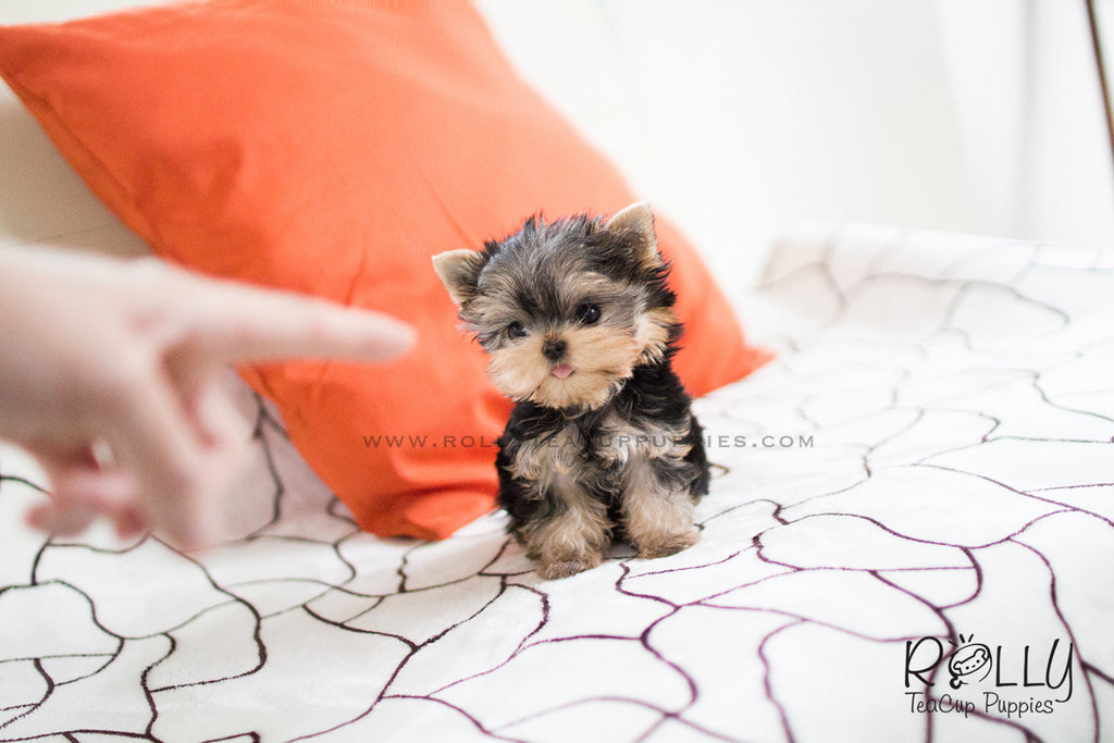 Carter - Yorkie. M - Rolly Teacup Puppies