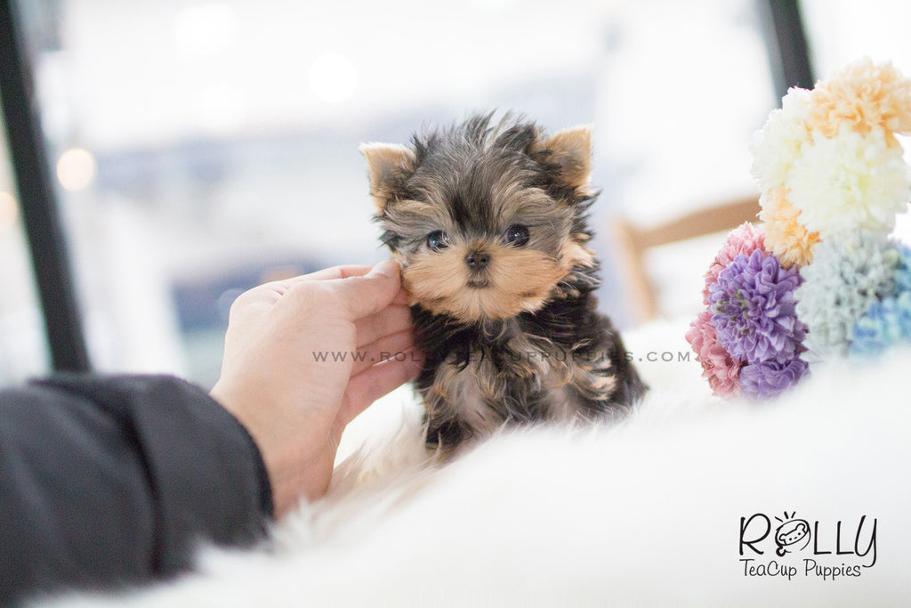 teacup yorkie for sale near me carter yorkie m rolly teacup puppies 8465