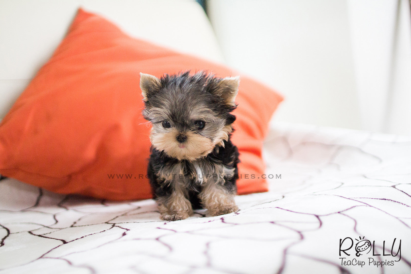 Carter Yorkie M Rolly Teacup Puppies