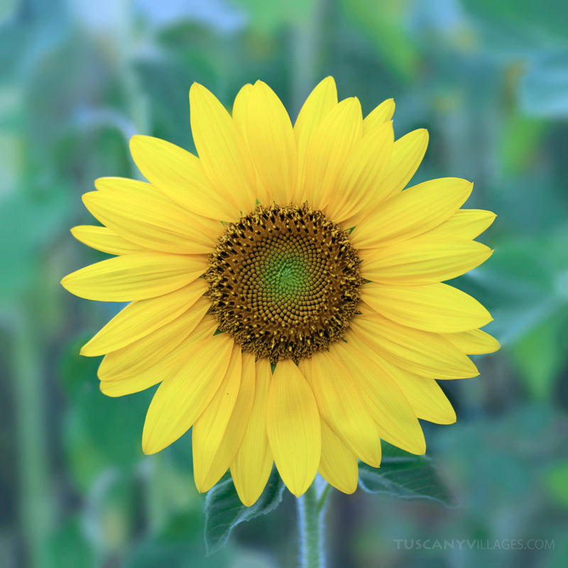 Canvas - Sunflower