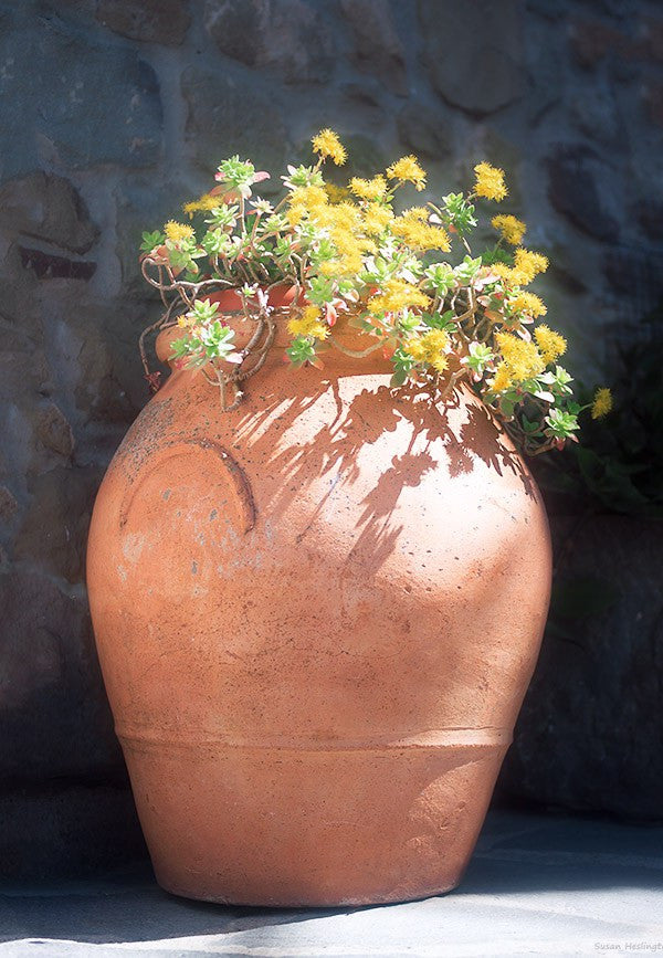 Canvas - Yellow flowers in a terracotta olive jar