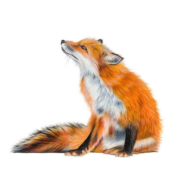 'Basil' Red Fox Giclee Print - Harebell Designs