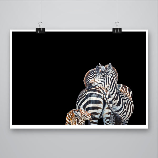 'Zebra Trio' Black Background - Harebell Designs
