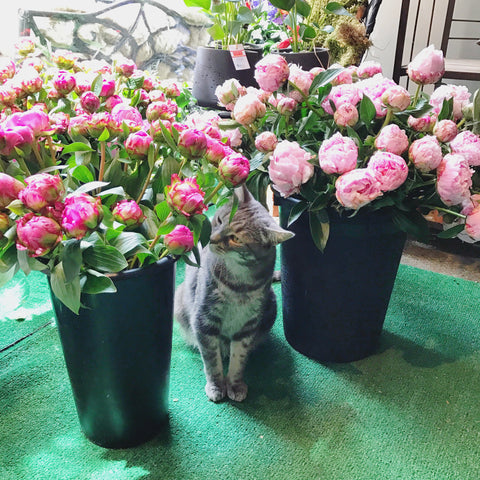 ScottietheCatNYC-felinemascotScottsFlowersNYC