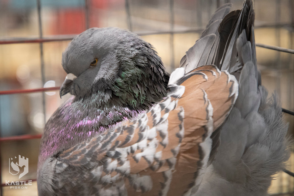 Photos from the 2019 National Young Bird Pigeon Show in Louisville