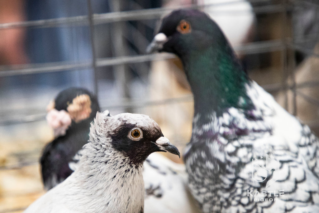 National Young Bird Pigeon Show