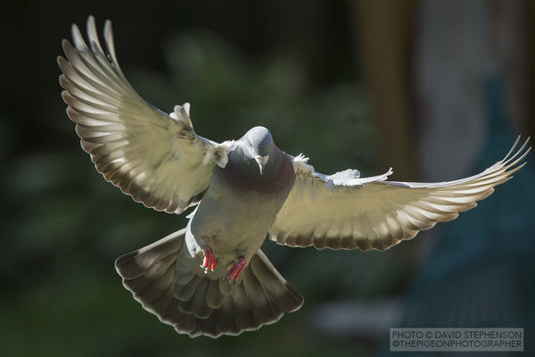 Healthy Racing homing pigeon flying