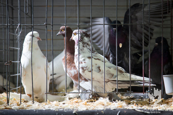 fancy show pigeons probiotic