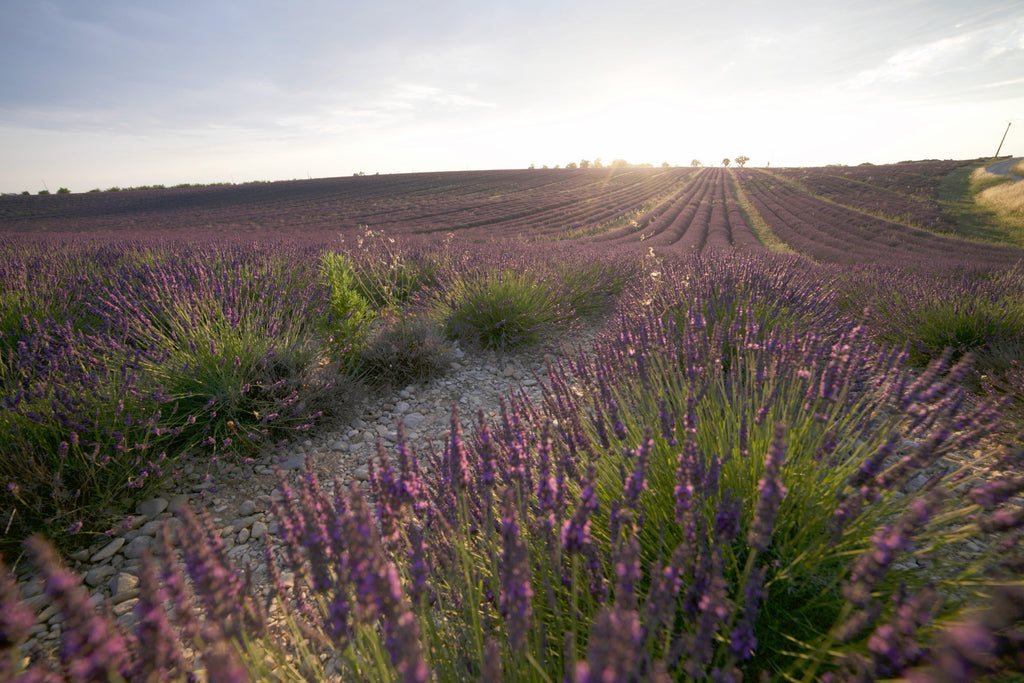 Aromatherapy the French Way - Lavender