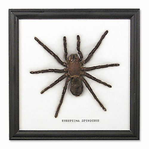 Large Spider Display 4.5 Inches Black Frame Tarantula