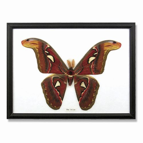 "SINGLE GREAT ATLAS MOTH IN FRAME 10.5x8""h"