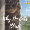 Kitty FAQs: Why Do Cats Blep?