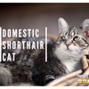 Domestic Shorthair Cats: All You Need to Know