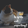 How To Tell If Your Cat is Expecting?