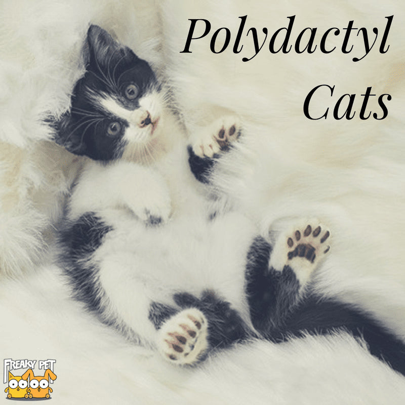 All You Need To Know About Polydactyl Cats