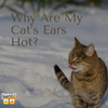 Why Are My Cat's Ears Hot: 5 Things You Should Know